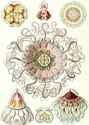 Illustration Shows Jellyfishes In The Phyllum Cnidaria Art Print