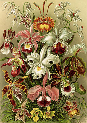 Orchid Drawing - Illustration Shows Orchids. Orchideae. - Denusblumen by Artokoloro