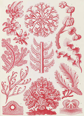 Illustration Shows Red Algae. Florideae. - Rotalgen Art Print