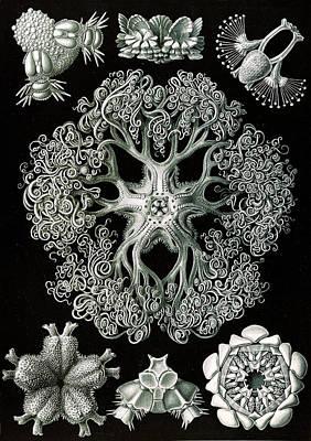 Illustration Shows Starfish And Details Of Starfish Anatomy Art Print