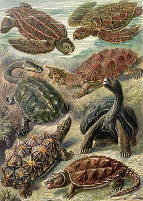 Illustration Shows Tortoises And Turtles Art Print