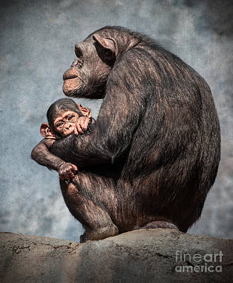 Chimpanzee  - I'm All Ears by Jamie Pham