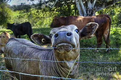 Bos Bos Photograph - I'm All Ears by Kaye Menner