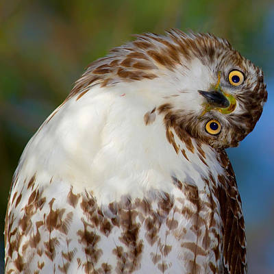 Red Tail Hawks Photograph - I'm Confused by John Absher