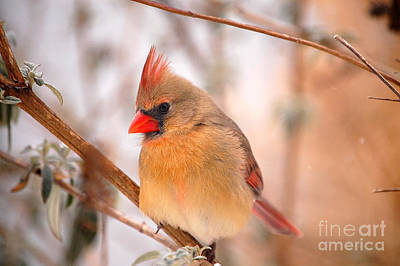 Photograph - Im Just As Pretty Female Cardinal Bird by Peggy Franz