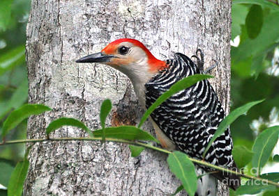 Photograph - I'm So Handsome - Red Bellied Woodpecker by Kathy Baccari