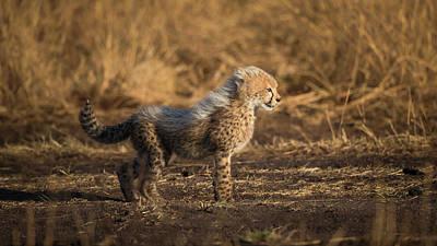 Cheetah Wall Art - Photograph - I'm The Son Of Malaika by Faisal Alnomas
