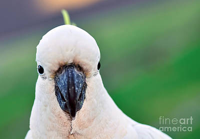 Cockatoo Photograph - I'm Watching You by Kaye Menner