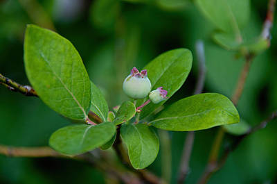 Photograph - Blueberries by John Black