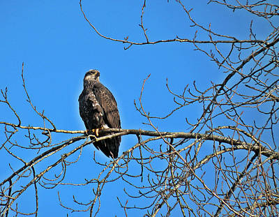 Photograph - Immature Bald Eagle by Brian Chase