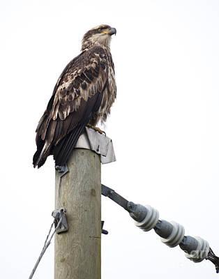 Photograph - Immature Bald Eagle by Chris Dutton