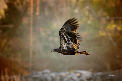 Photograph - Immature Bald Eagle by Crystal Wightman