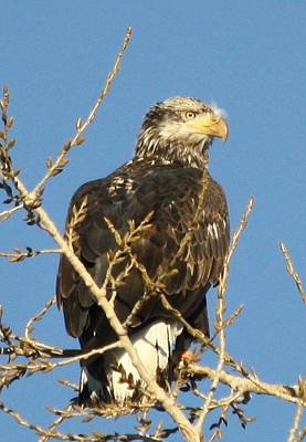 Photograph - Immature Bald Eagle by Shane Bechler