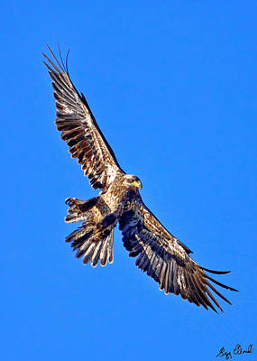 Photograph - Immature Bald Eagle In Flight Le by Greg Norrell