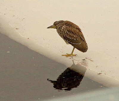 Photograph - Immature Black-crowned Night Heron by Kristia Adams