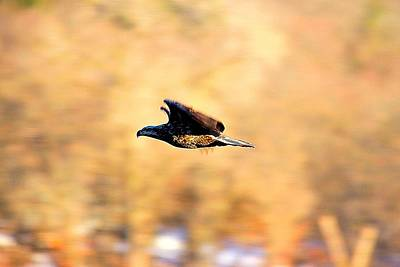 Sports Royalty-Free and Rights-Managed Images - Immature Eagle In Flight by David Tennis