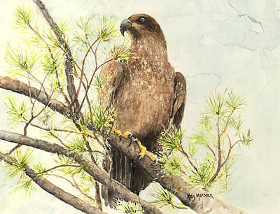 Painting - Immature Eagle by Ken Marsden