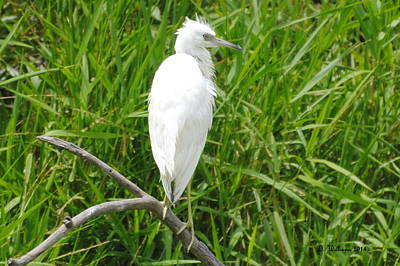 Immature Little Blue Heron On Watch Art Print