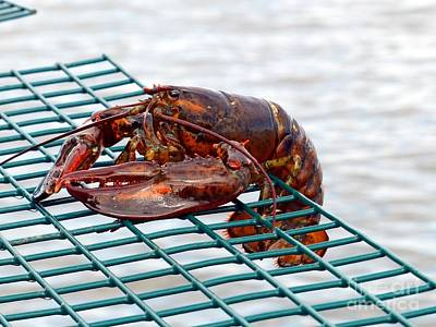 Lady Bug - Immature Lobster on a Lobster Pot by Christine Stack