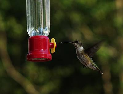 Photograph - Immature Male Hummingbird by Billy  Griffis Jr