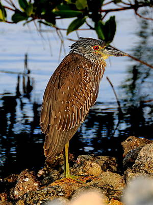 Sports Royalty-Free and Rights-Managed Images - Immature Night Heron by David Tennis