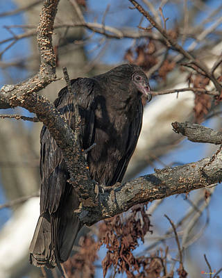 Photograph - Immature Turkey Vulture Drb180 by Gerry Gantt