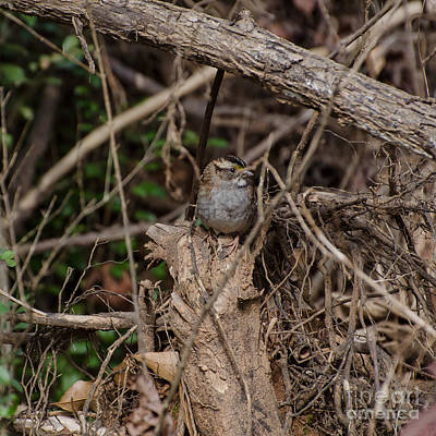 Photograph - Immature White-throated Sparrow by Donna Brown