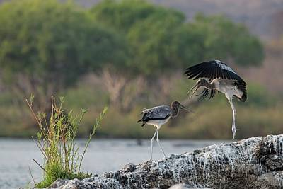 Immature Yellow-billed Storks At Play Art Print by Tony Camacho/science Photo Library
