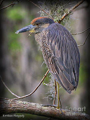 Photograph - Immature Yellow-crowned Night Heron by Barbara Bowen