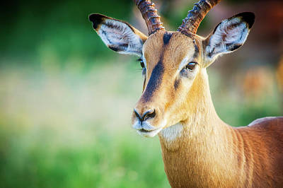 African Horned Animal Photograph - Impala  Aepyceros Melampus , Kruger by Remsberg Inc