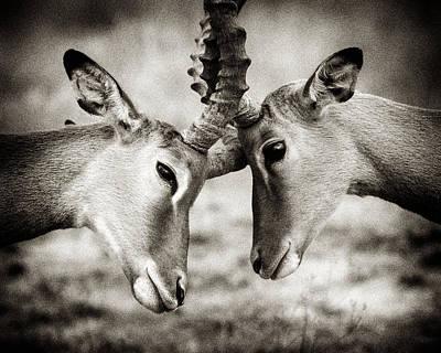 African Photograph - Impala Nudge - Selenium Toned by Mike Gaudaur