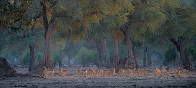 Beginning Photograph - Impalas At Dawn by Giovanni Casini