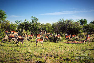 Bush Photograph - Impala's Herd On Savanna In Africa by Michal Bednarek