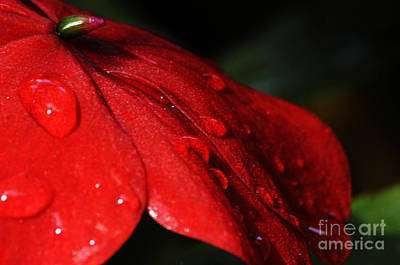 Photograph - Impatiens With Water Drops by Larry Ricker