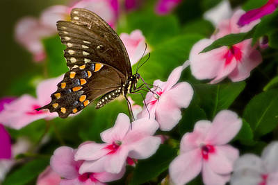 Photograph - Impatient Swallowtail by Bill Wakeley