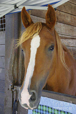 Forelock Photograph - Imperial Pose by Marilyn Wilson