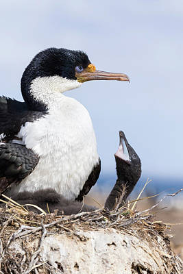 Baby Bird Photograph - Imperial Shag Also Called King Shag by Martin Zwick