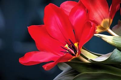 Photograph - Impetuous Tulip by Carol Montoya
