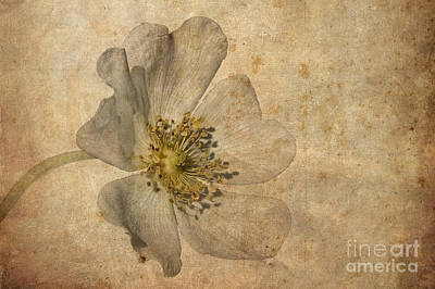 Wild Rose Photograph - Impression by John Edwards