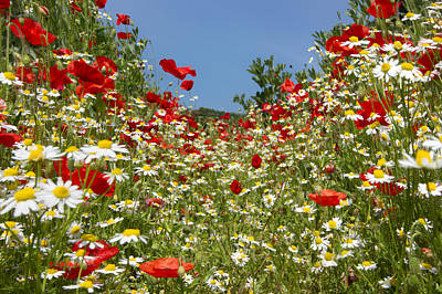 Silver Turquoise Photograph - Down Amoung The Poppies And Daisies by Adrian Campfield