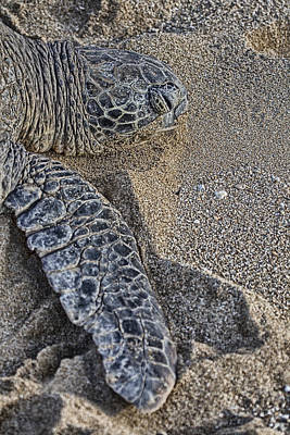 Green Sea Turtle Photograph - In Another World by Douglas Barnard