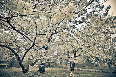 Cherry Blossoms Photograph - In Bloom by Kristopher Schoenleber