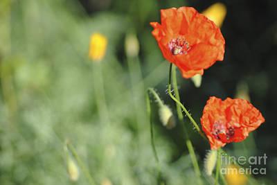 Digital Art - In Memory Of My Poppy by Danielle Summa