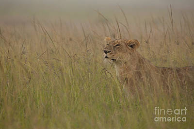 In Search Of Cubs Print by Ashley Vincent