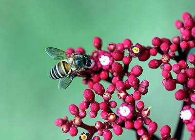 Insect Photograph - In Search Of Honey by Sathiya