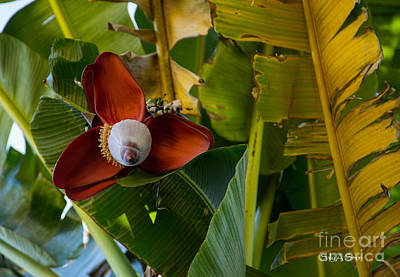 Photograph - In The Banana Tree 2 by Sally Simon