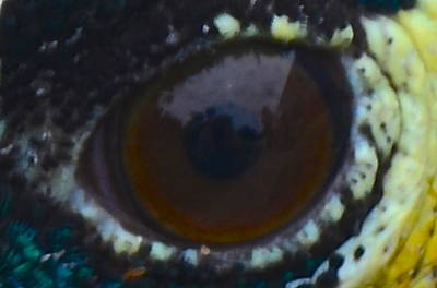 Painting - In The Eye Of A Peacock by AnnaJo Vahle