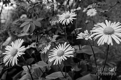 Photograph - In The Garden - Doronicum Cordatum by Ismo Raisanen