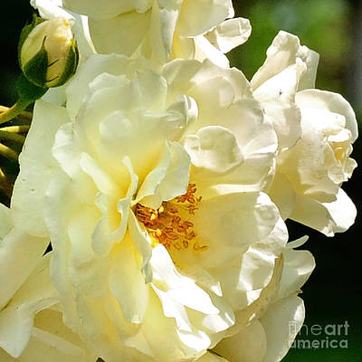 Photograph - Sunny Rose Garden by Nava Thompson