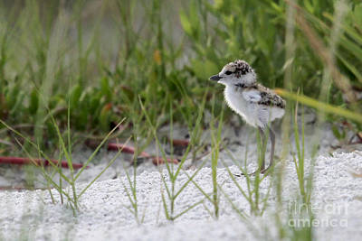 Photograph - In The Grass - Wilson's Plover Chick by Meg Rousher